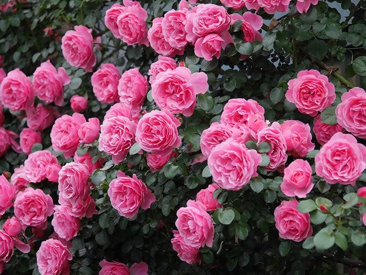 レオナルド・ダ・ヴィンチ(半ツルバラ)の花が退色してきた。2020年-047.jpg