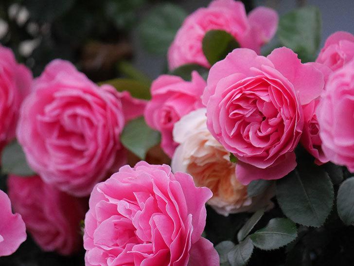 レオナルド・ダ・ヴィンチ(半ツルバラ)の花が退色してきた。2020年-048.jpg