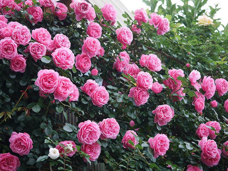 レオナルド・ダ・ヴィンチ(半ツルバラ)の花が退色してきた。2020年-049.jpg