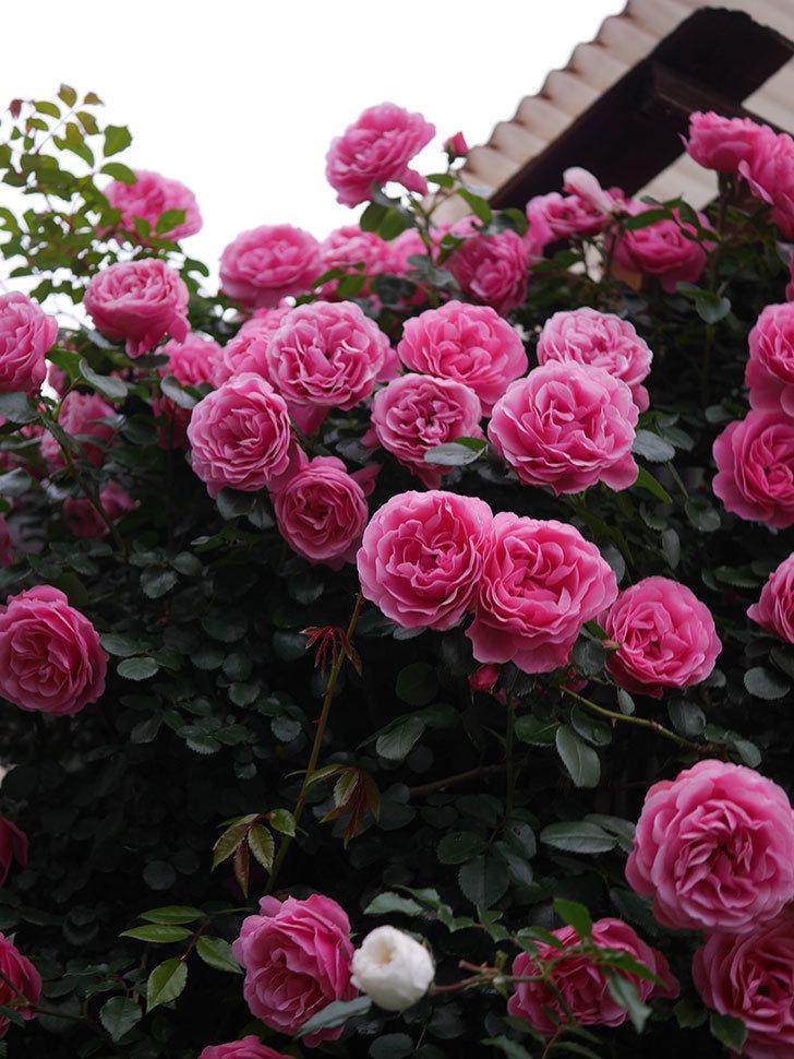レオナルド・ダ・ヴィンチ(半ツルバラ)の花が退色してきた。2020年-051.jpg