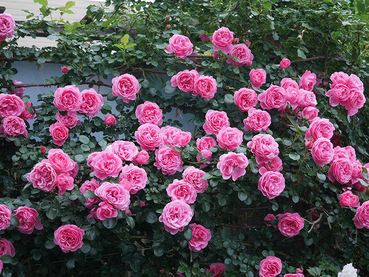 レオナルド・ダ・ヴィンチ(半ツルバラ)の花が退色してきた。2020年-052.jpg