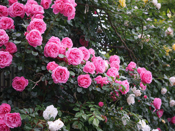 レオナルド・ダ・ヴィンチ(半ツルバラ)の花が退色してきた。2020年-053.jpg