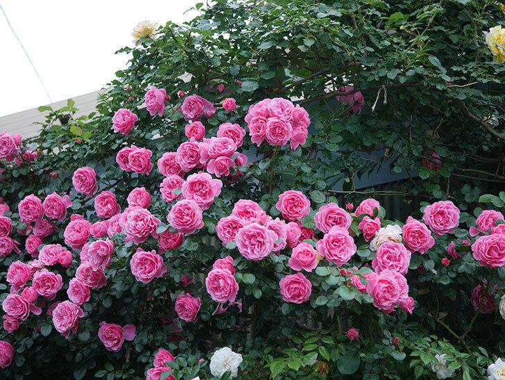 レオナルド・ダ・ヴィンチ(半ツルバラ)の花が退色してきた。2020年-054.jpg