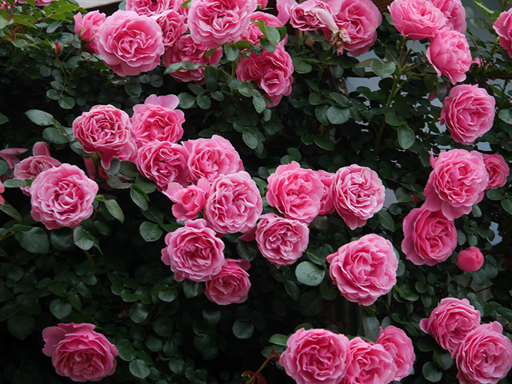 レオナルド・ダ・ヴィンチ(半ツルバラ)の花が退色してきた。2020年-055.jpg