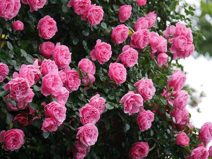 レオナルド・ダ・ヴィンチ(半ツルバラ)の花が退色してきた。2020年-056.jpg