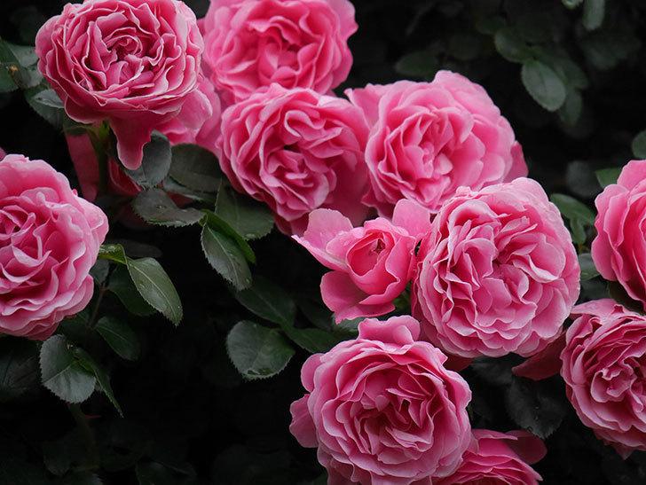 レオナルド・ダ・ヴィンチ(半ツルバラ)の花が退色してきた。2020年-057.jpg