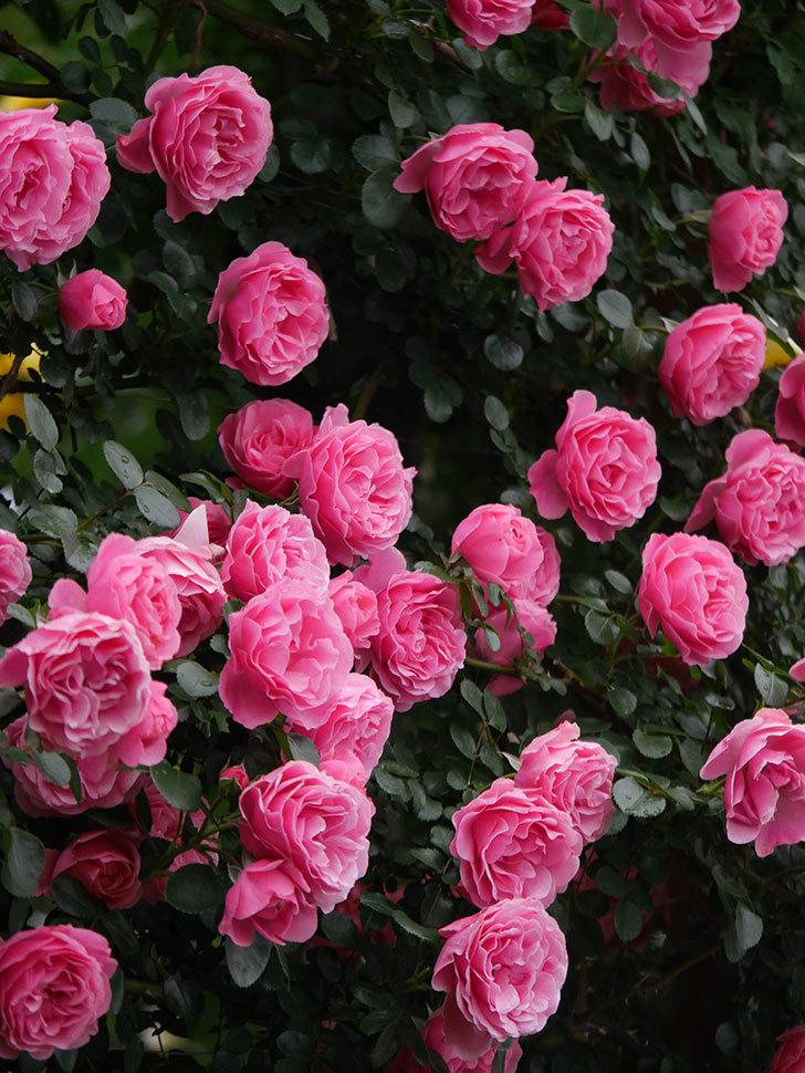 レオナルド・ダ・ヴィンチ(半ツルバラ)の花が退色してきた。2020年-059.jpg