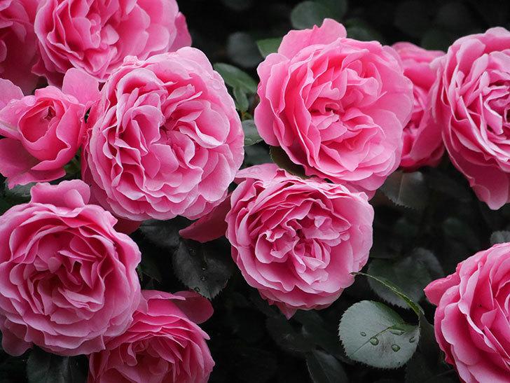 レオナルド・ダ・ヴィンチ(半ツルバラ)の花が退色してきた。2020年-060.jpg