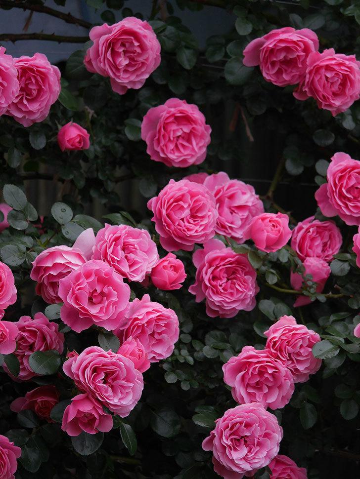 レオナルド・ダ・ヴィンチ(半ツルバラ)の花が退色してきた。2020年-061.jpg