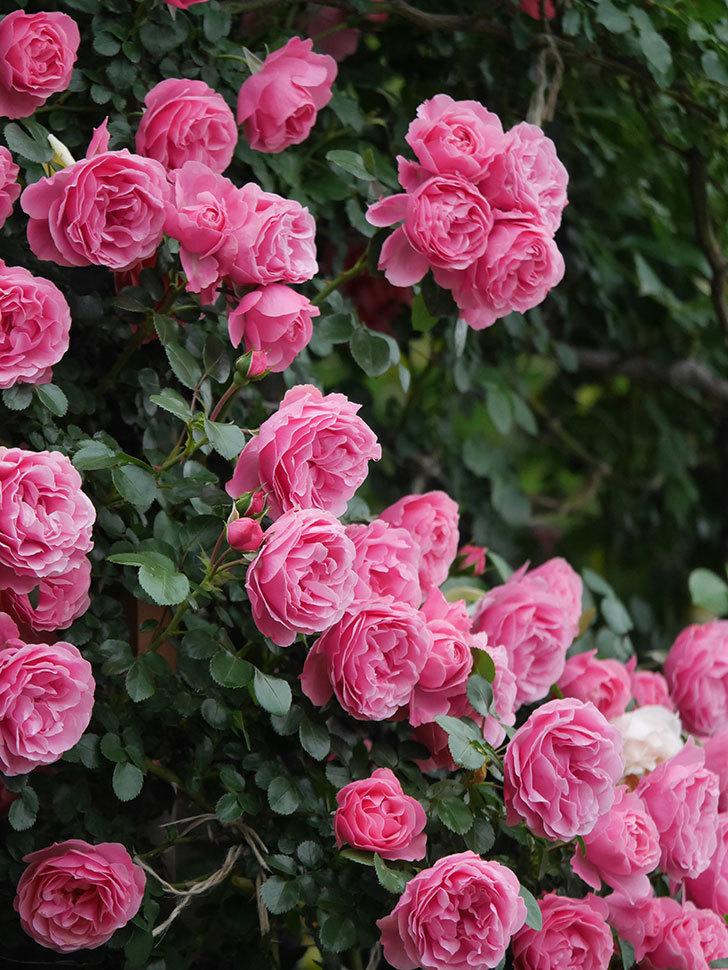 レオナルド・ダ・ヴィンチ(半ツルバラ)の花が退色してきた。2020年-062.jpg