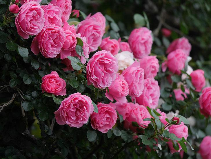 レオナルド・ダ・ヴィンチ(半ツルバラ)の花が退色してきた。2020年-063.jpg