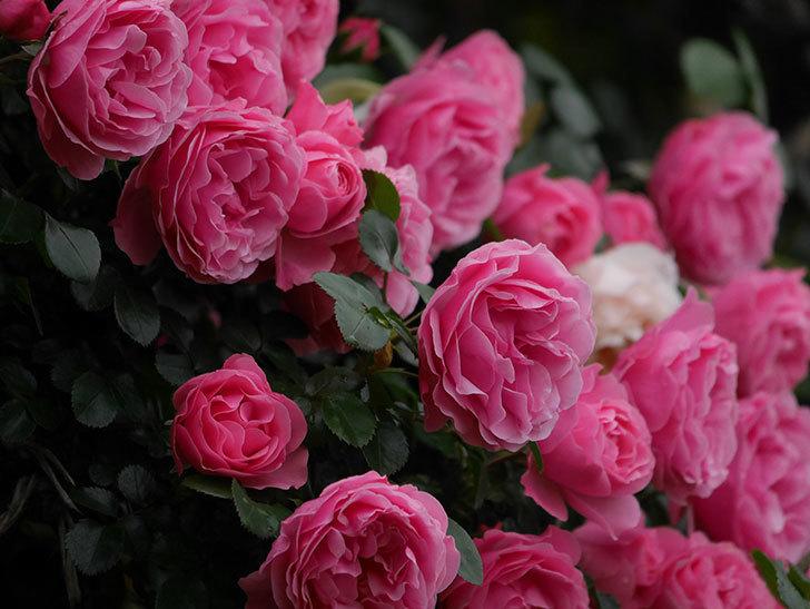 レオナルド・ダ・ヴィンチ(半ツルバラ)の花が退色してきた。2020年-064.jpg