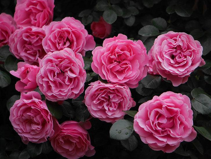 レオナルド・ダ・ヴィンチ(半ツルバラ)の花が退色してきた。2020年-065.jpg