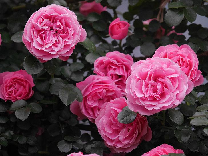 レオナルド・ダ・ヴィンチ(半ツルバラ)の花が退色してきた。2020年-066.jpg