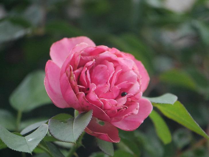 レオナルド・ダ・ヴィンチ(Leonard da Vinci)の2番花がたくさん咲いた。半ツルバラ。2020年-001.jpg