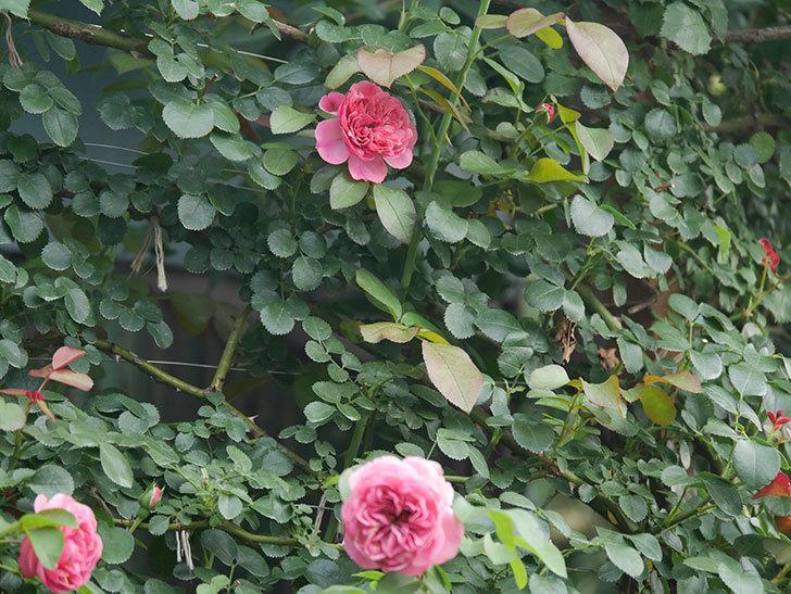 レオナルド・ダ・ヴィンチ(Leonard da Vinci)の2番花がたくさん咲いた。半ツルバラ。2020年-002.jpg