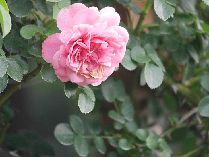 レオナルド・ダ・ヴィンチ(Leonard da Vinci)の2番花がたくさん咲いた。半ツルバラ。2020年-003.jpg