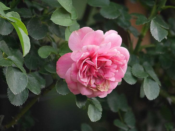 レオナルド・ダ・ヴィンチ(Leonard da Vinci)の2番花がたくさん咲いた。半ツルバラ。2020年-004.jpg