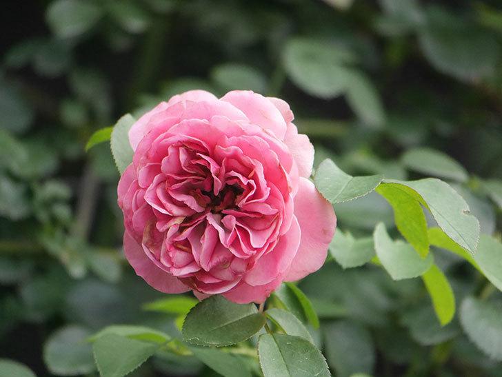 レオナルド・ダ・ヴィンチ(Leonard da Vinci)の2番花がたくさん咲いた。半ツルバラ。2020年-005.jpg
