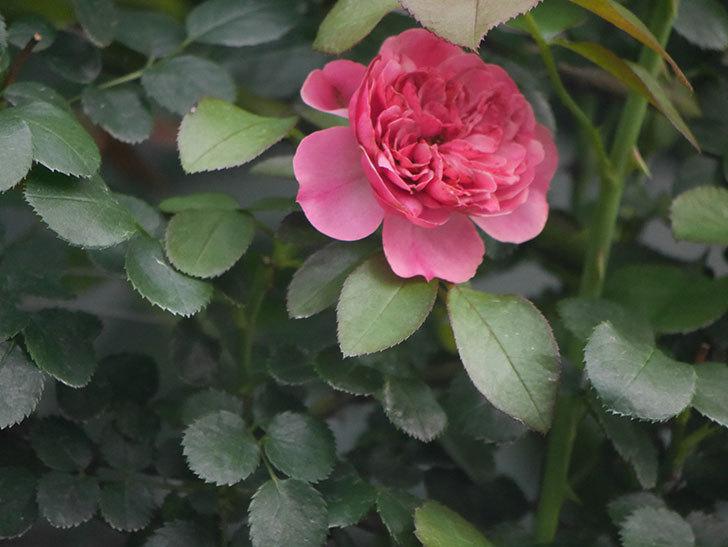 レオナルド・ダ・ヴィンチ(Leonard da Vinci)の2番花がたくさん咲いた。半ツルバラ。2020年-006.jpg