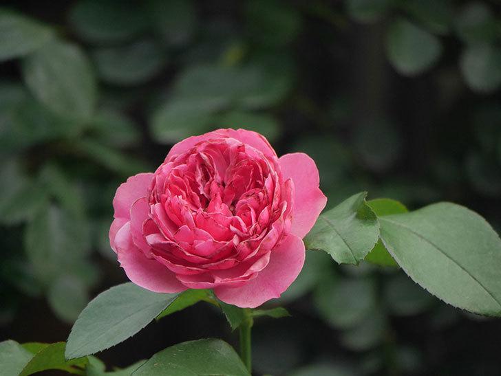 レオナルド・ダ・ヴィンチ(Leonard da Vinci)の2番花がたくさん咲いた。半ツルバラ。2020年-007.jpg