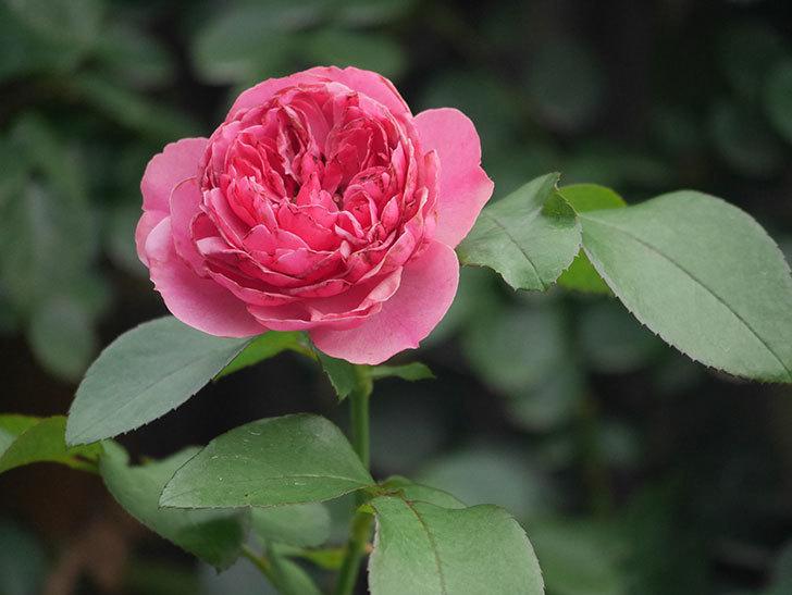 レオナルド・ダ・ヴィンチ(Leonard da Vinci)の2番花がたくさん咲いた。半ツルバラ。2020年-008.jpg