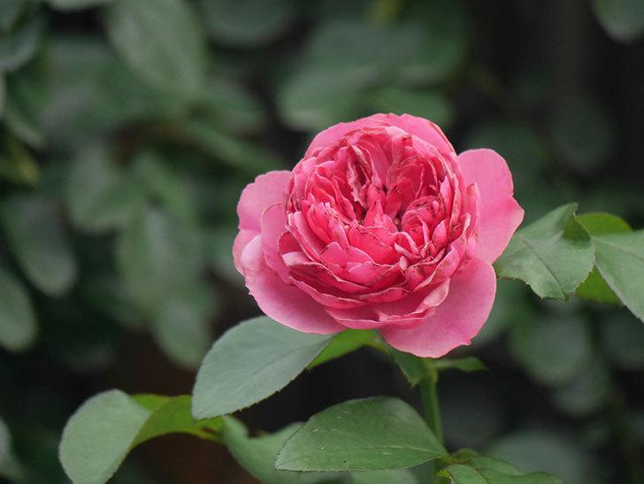 レオナルド・ダ・ヴィンチ(Leonard da Vinci)の2番花がたくさん咲いた。半ツルバラ。2020年-009.jpg
