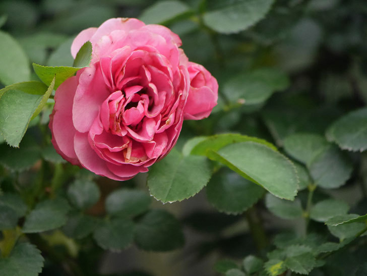 レオナルド・ダ・ヴィンチ(Leonard da Vinci)の2番花がたくさん咲いた。半ツルバラ。2020年-010.jpg