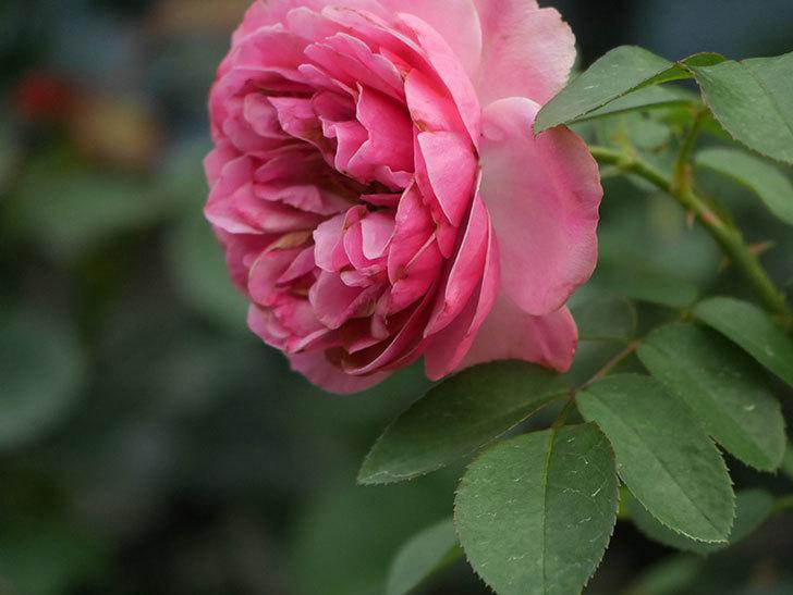 レオナルド・ダ・ヴィンチ(Leonard da Vinci)の2番花がたくさん咲いた。半ツルバラ。2020年-011.jpg
