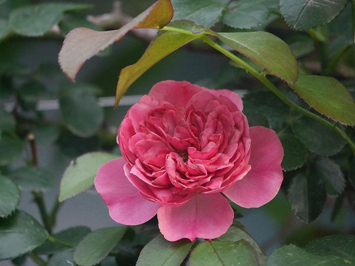 レオナルド・ダ・ヴィンチ(Leonard da Vinci)の2番花がたくさん咲いた。半ツルバラ。2020年-012.jpg