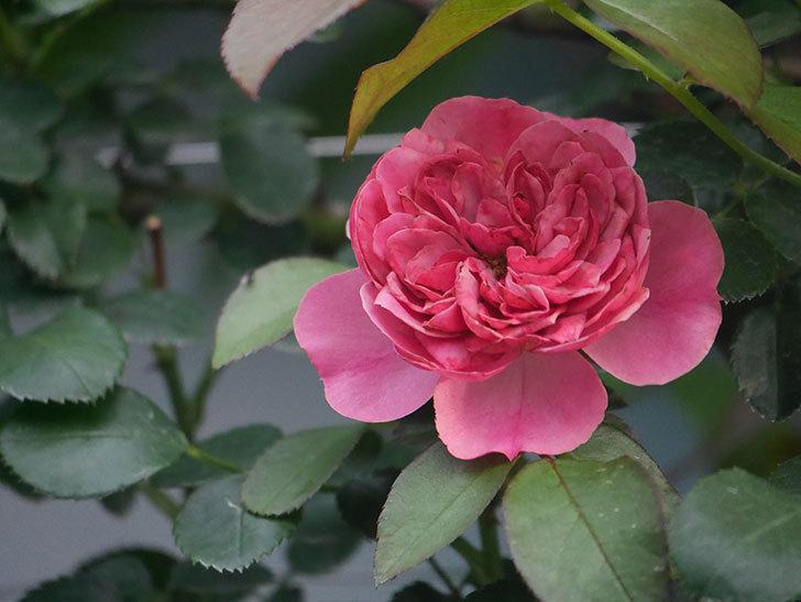 レオナルド・ダ・ヴィンチ(Leonard da Vinci)の2番花がたくさん咲いた。半ツルバラ。2020年-013.jpg
