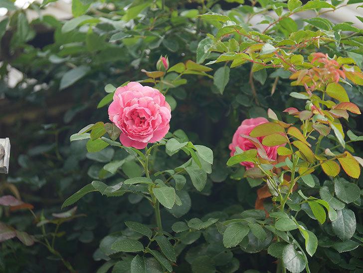 レオナルド・ダ・ヴィンチ(Leonard da Vinci)の2番花が増えてきた。半ツルバラ。2020年-001.jpg
