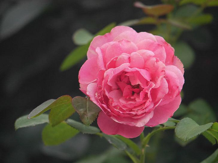 レオナルド・ダ・ヴィンチ(Leonard da Vinci)の2番花が増えてきた。半ツルバラ。2020年-002.jpg