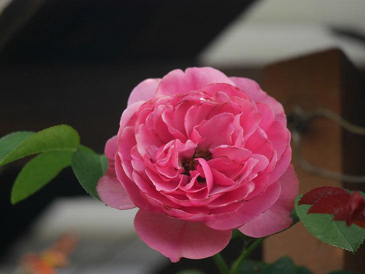 レオナルド・ダ・ヴィンチ(Leonard da Vinci)の2番花が増えてきた。半ツルバラ。2020年-004.jpg