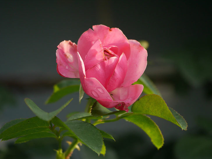 レオナルド・ダ・ヴィンチ(Leonard da Vinci)の2番花が増えてきた。半ツルバラ。2020年-005.jpg