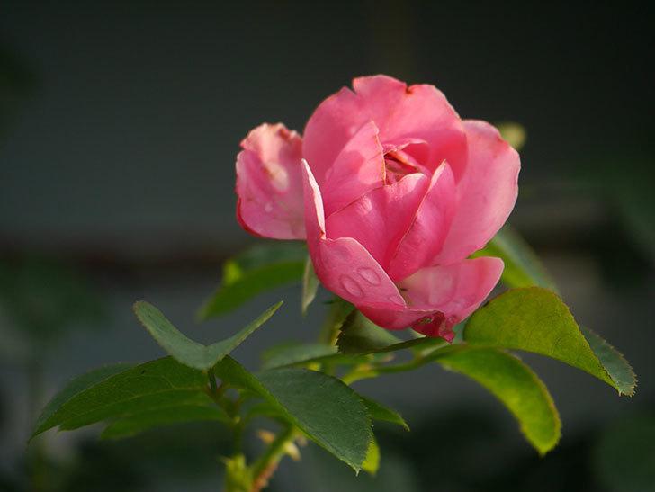 レオナルド・ダ・ヴィンチ(Leonard da Vinci)の2番花が増えてきた。半ツルバラ。2020年-006.jpg