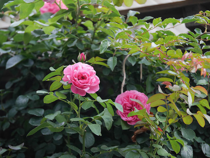 レオナルド・ダ・ヴィンチ(Leonard da Vinci)の2番花が増えてきた。半ツルバラ。2020年-007.jpg