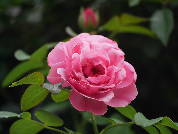レオナルド・ダ・ヴィンチ(Leonard da Vinci)の2番花が増えてきた。半ツルバラ。2020年-008.jpg
