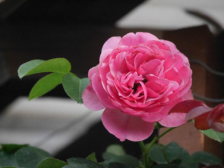 レオナルド・ダ・ヴィンチ(Leonard da Vinci)の2番花が増えてきた。半ツルバラ。2020年-009.jpg