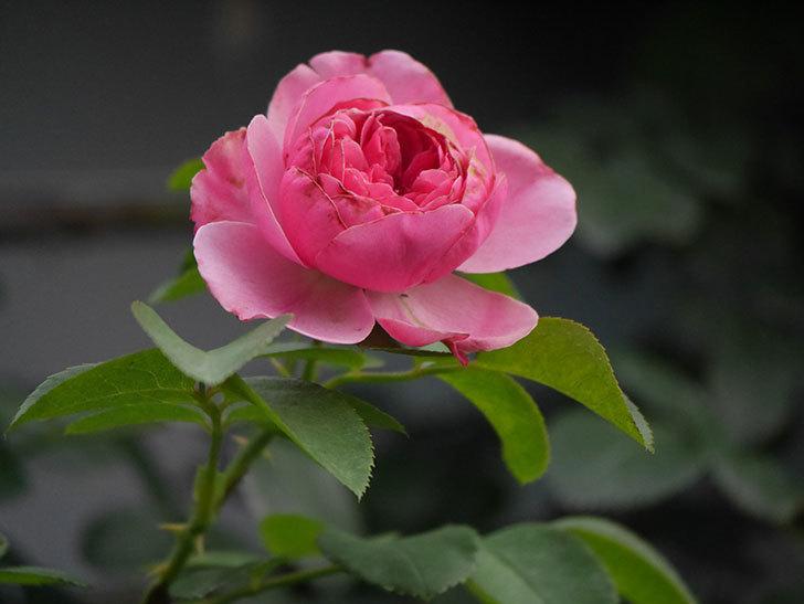 レオナルド・ダ・ヴィンチ(Leonard da Vinci)の2番花が増えてきた。半ツルバラ。2020年-010.jpg