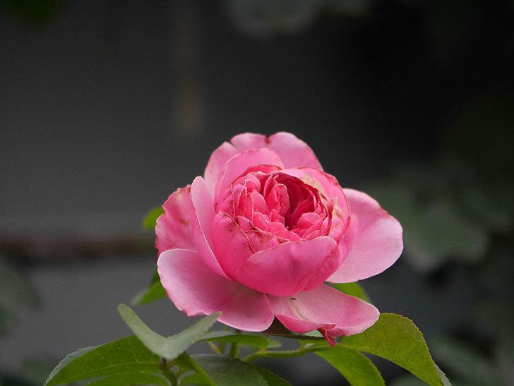 レオナルド・ダ・ヴィンチ(Leonard da Vinci)の2番花が増えてきた。半ツルバラ。2020年-011.jpg