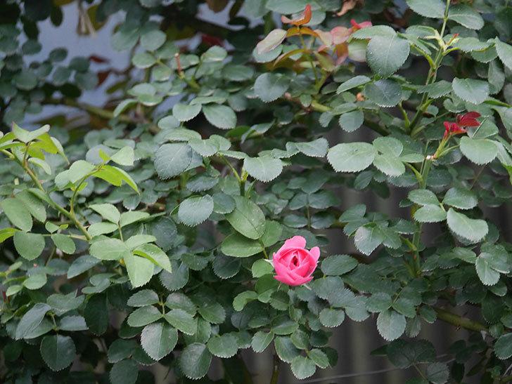 レオナルド・ダ・ヴィンチ(Leonard da Vinci)の2番花が増えてきた。半ツルバラ。2020年-012.jpg