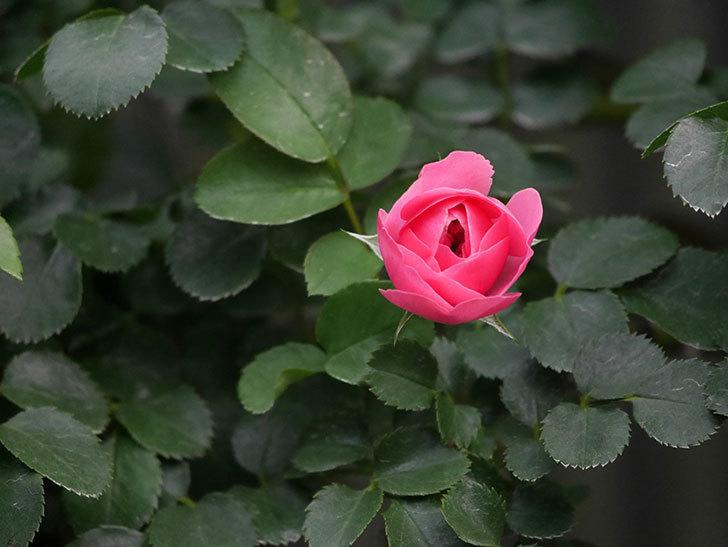 レオナルド・ダ・ヴィンチ(Leonard da Vinci)の2番花が増えてきた。半ツルバラ。2020年-013.jpg