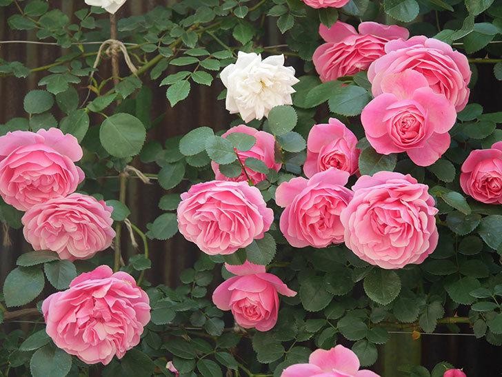 レオナルド・ダ・ヴィンチ(Leonard da Vinci)の花がたくさん咲いた。半ツルバラ。2021年-001.jpg