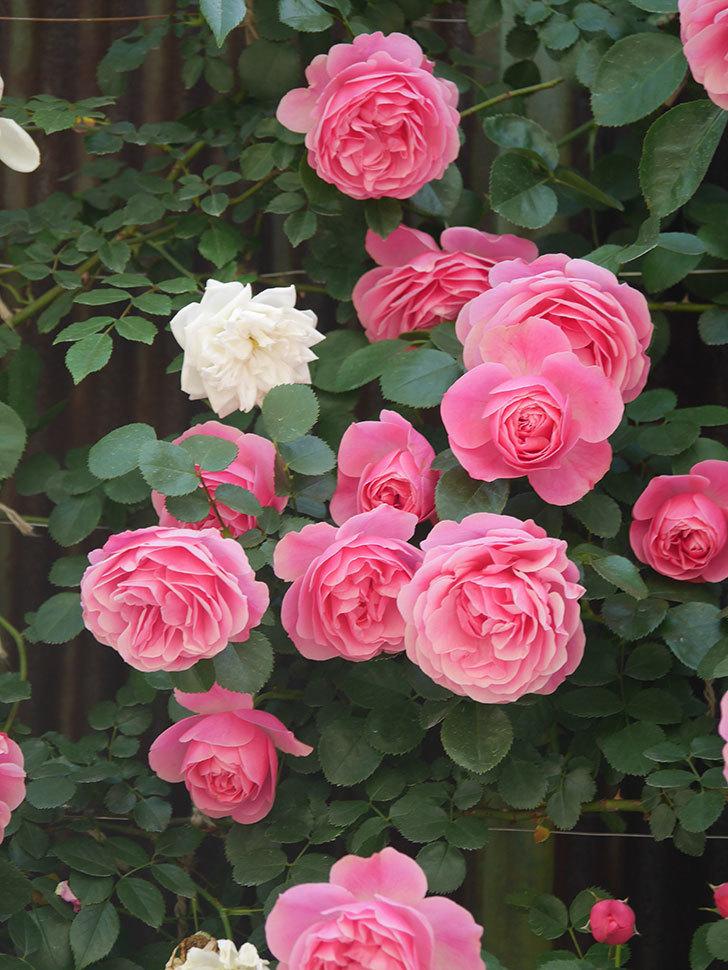 レオナルド・ダ・ヴィンチ(Leonard da Vinci)の花がたくさん咲いた。半ツルバラ。2021年-002.jpg