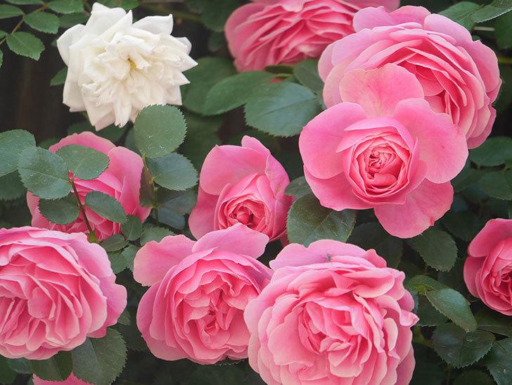 レオナルド・ダ・ヴィンチ(Leonard da Vinci)の花がたくさん咲いた。半ツルバラ。2021年-003.jpg