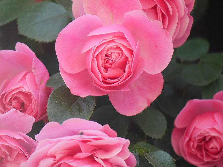 レオナルド・ダ・ヴィンチ(Leonard da Vinci)の花がたくさん咲いた。半ツルバラ。2021年-004.jpg