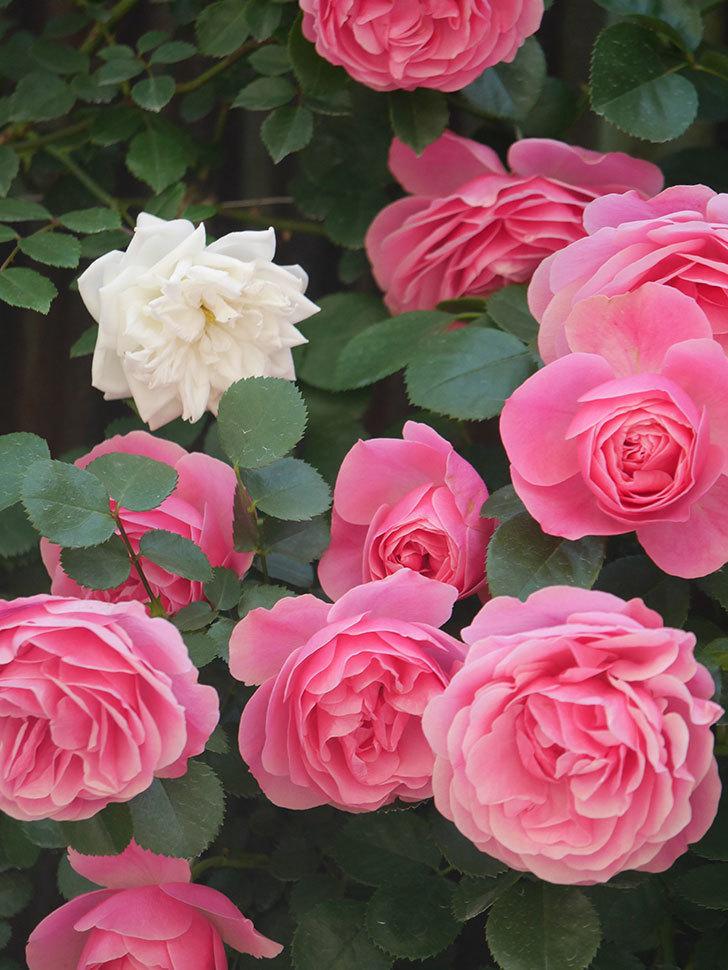 レオナルド・ダ・ヴィンチ(Leonard da Vinci)の花がたくさん咲いた。半ツルバラ。2021年-005.jpg
