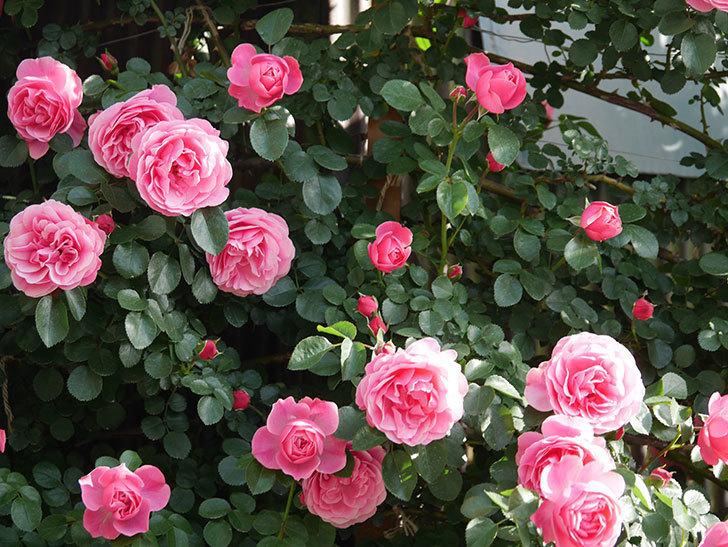 レオナルド・ダ・ヴィンチ(Leonard da Vinci)の花がたくさん咲いた。半ツルバラ。2021年-006.jpg