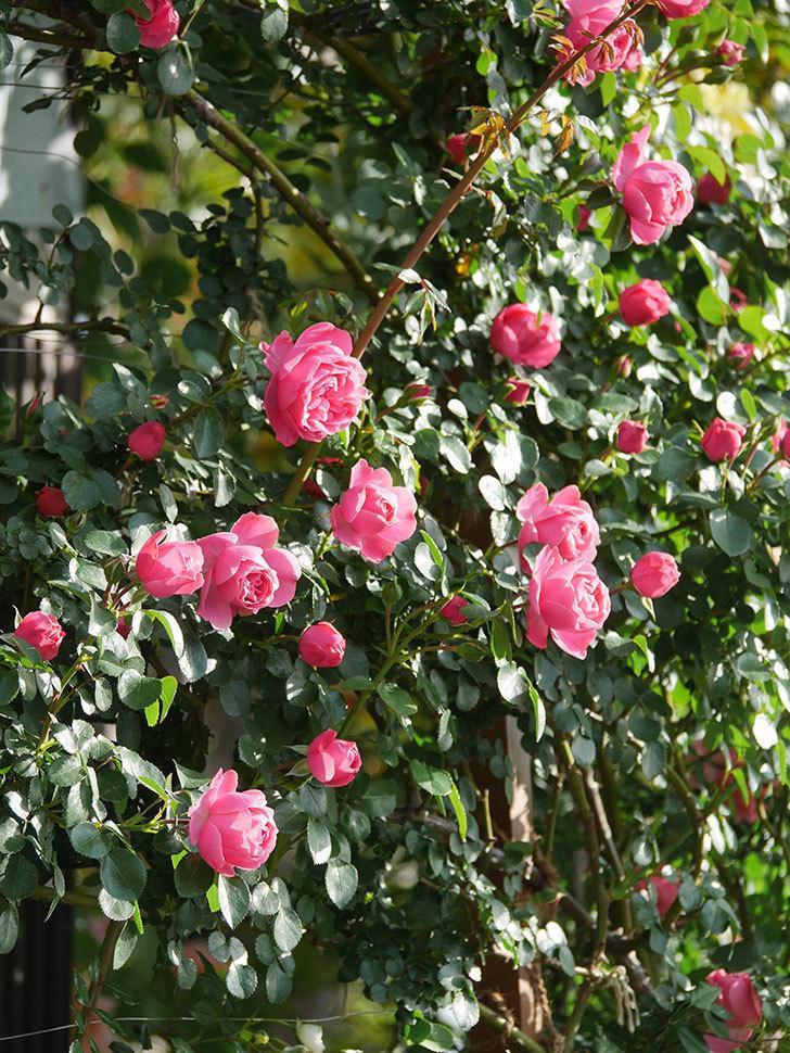 レオナルド・ダ・ヴィンチ(Leonard da Vinci)の花がたくさん咲いた。半ツルバラ。2021年-007.jpg
